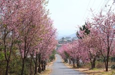 Cherry blossoms brighten Da Lat city