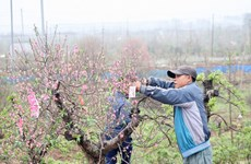 Peach blossom flowers in Nhat Tan revived after Tet