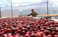 Vietnam boosts production of specialty coffee