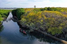Ru Cha mangrove forest shines in Autumn