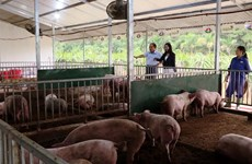 Biological farming keeps pigs alive amid epidemic