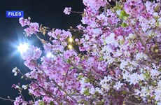 Hanoi cherry blossom festival to be held in March