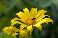 Wild sunflowers shine bright on Ba Vi mount