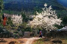Plum blossoms invite tourists to Son La province