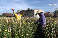 Chrysanthemum season in full bloom in Khanh Hoa