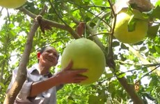 Exotic fruits much sought after for Tet holiday