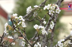 Hanoians adorn home with wild pear blossoms