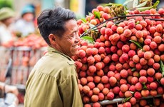 Bac Giang: More lychee to be grown for export to Japan
