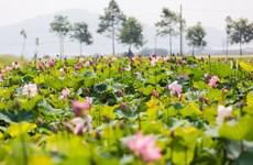 Lotus pond in Uncle Ho's hometown