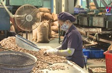 Cashew nut exports to thrive in year-end months
