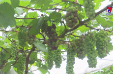 Young farmer makes fortune from grapes