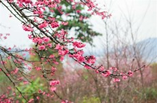 Cherry blossom festival returns to Dien Bien