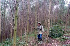 Preservation of precious timber trees in Phong Quang forest