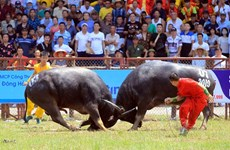 Buffalo Fight in Hai Phong - a unique aspect of the Vietnamese culture