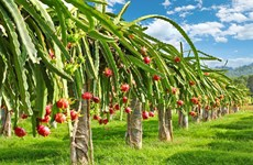 Specialty from Viet Nam: Export potential of dragon fruits
