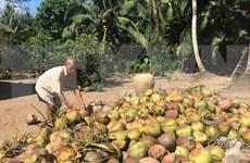 Ben Tre coconut - A bright spot on Vietnam's agriculture map