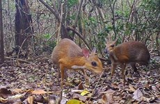 Mouse deer found-A step forward in Viet Nam's conservation effort