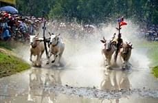Witness the majestic Bay Nui ox racing festival in An Giang