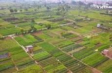 "Visiting Tan Minh commune to enjoy Ha Noi's famous vegetable ""hub"""