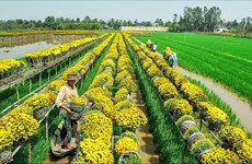 The beauty of Mekong Delta's largest flower village
