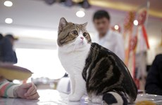Fancy felines hit Hanoi for Vietnam's first ever cat show