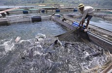 The farmer who earns billions from semi-natural fish cages in Hoa Binh lake