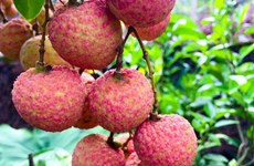 Prepare for lychee season during COVID-19 pandemic
