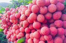 The sweet result after 20-year of cultivating lychee trees on the mountain