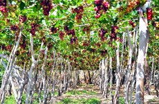 Ninh Thuan grapes - The pearls rise in the sun and wind