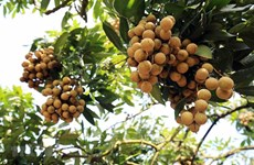 Over 20 countries, territories to join conference promoting Hung Yen's longan