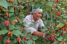 Hanoi: Farmers busy harvesting mulberry