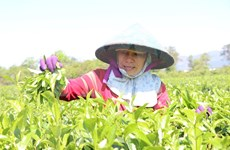 Attracting green tea hill in Gia Lai