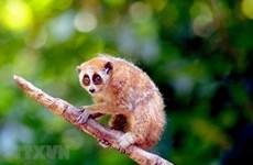 Son La releases wild loris back into nature