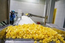 Processing pineapple for export at Dong Giao farm