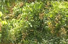 Son La longans in harvest season