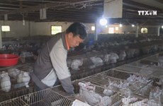 Farmer earns higher income from rabbit farming