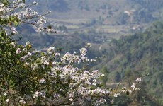 Ban flowers brighten northern mountainous province