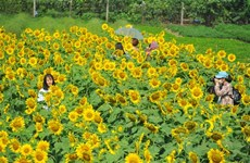Sunflower garden in Ninh Binh lures visitors