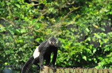 Efforts to protect Delacour's langurs in Ha Nam
