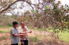 Vietnam's cashew industry shaken by extreme weather events