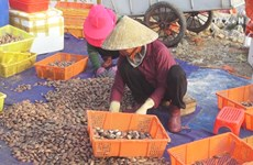 Ha Tinh fishermen earn big from shellfish