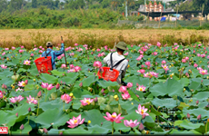 Lotus blossoms in Hue