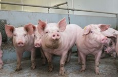 Vietnam active in preventing African swine fever from spreading widely