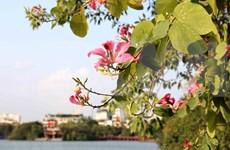 Mountain ebonies adorn Hanoi city centre