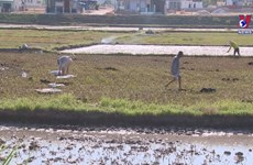 Farmers in Binh Dinh plant rice early to avoid drought