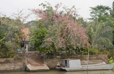 Pink shower blossoms bloom in An Giang province
