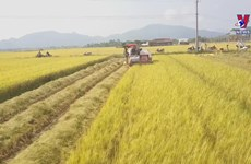 Joint rice farming model brings farmers sustainable income