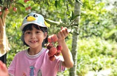 Urban kids enjoy harvesting lychees as actual farmers