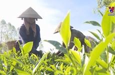 Building a brand for Phu Tho tea