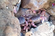 Ly Son island working to preserve renowned rock crabs